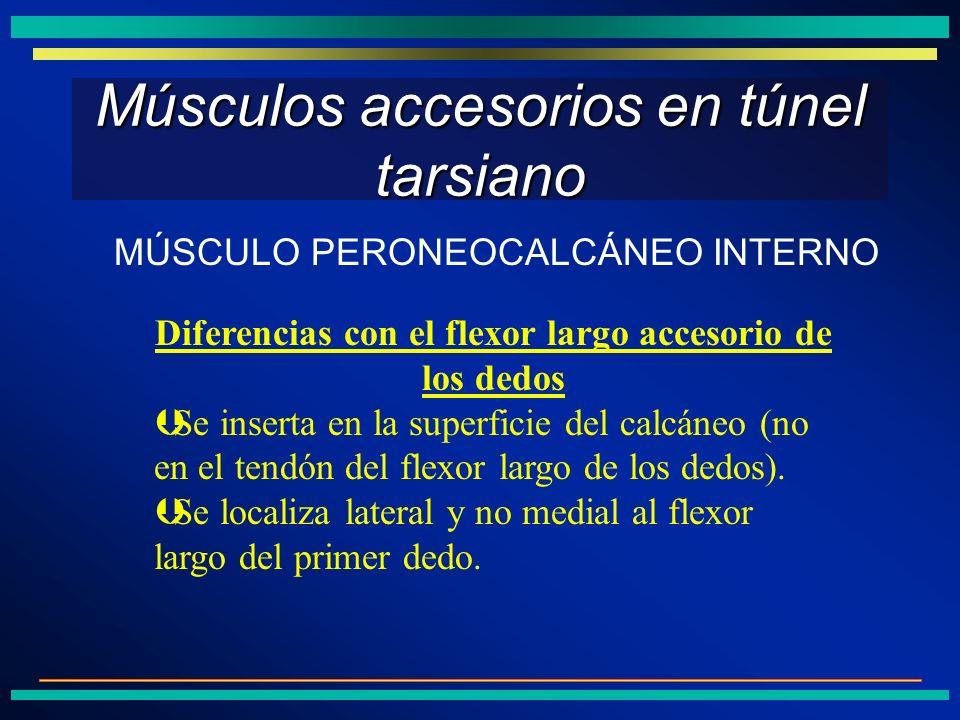 Músculos accesorios en túnel tarsiano Diferencias con el flexor largo accesorio de los dedos ÞSe inserta en la superficie del calcáneo (no en el tendó