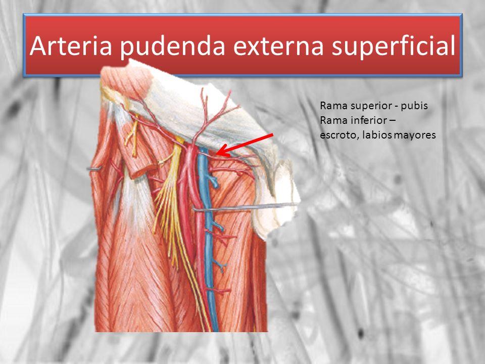 Arteria pudenda externa superficial Rama superior - pubis Rama inferior – escroto, labios mayores