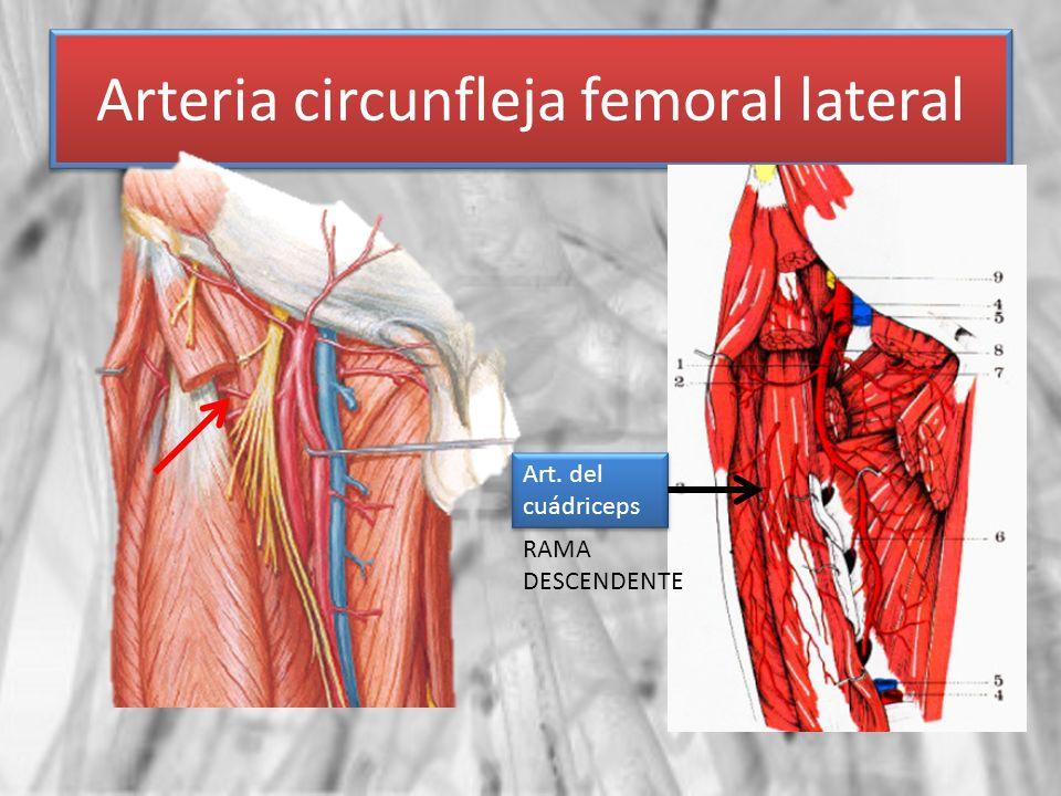 Arteria circunfleja femoral lateral Art. del cuádriceps RAMA DESCENDENTE