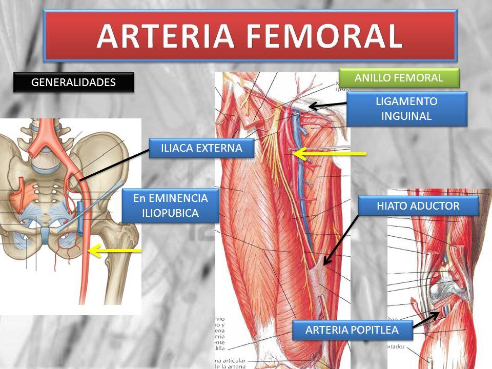 Ramas de la femoral entre el anillo femoral y el nacimiento de la femoral profunda ARTERIA FEMORAL PROFUNDA ARTERIA FEMORAL ARTERIA ILIACA INTERNA ARTERIA ILIACA ETERNA