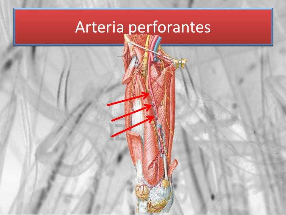 Arteria perforantes
