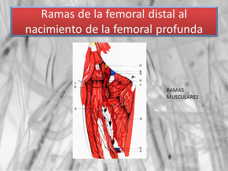 Ramas de la femoral distal al nacimiento de la femoral profunda RAMAS MUSCULARES
