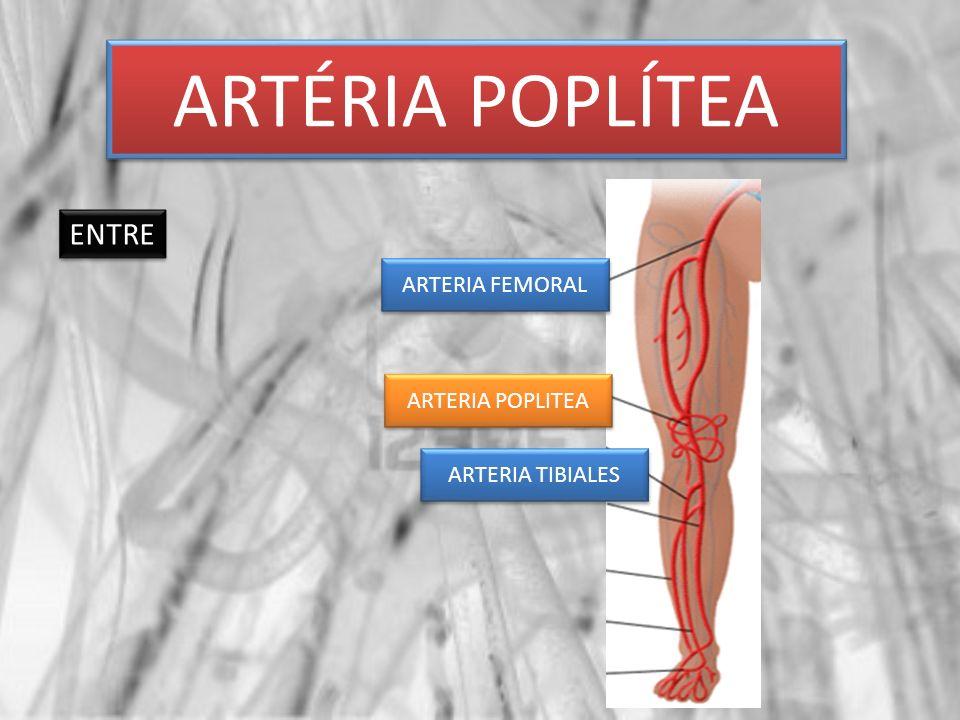 ARTÉRIA POPLÍTEA ENTRE ARTERIA FEMORAL ARTERIA TIBIALES ARTERIA POPLITEA