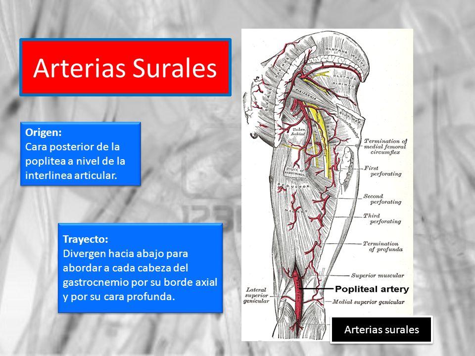 Arterias Surales Arterias surales Origen: Cara posterior de la poplitea a nivel de la interlinea articular. Origen: Cara posterior de la poplitea a ni