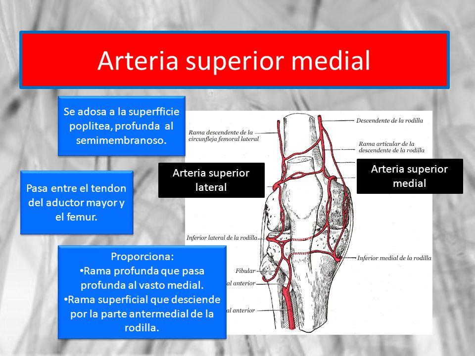 Arteria superior medial Arteria superior lateral Arteria superior medial Se adosa a la superfficie poplitea, profunda al semimembranoso. Pasa entre el