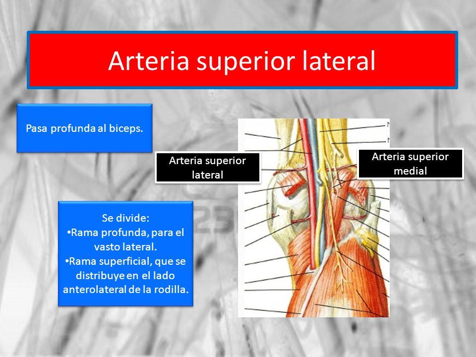 Arteria superior lateral Arteria superior medial Pasa profunda al biceps. Se divide: Rama profunda, para el vasto lateral. Rama superficial, que se di