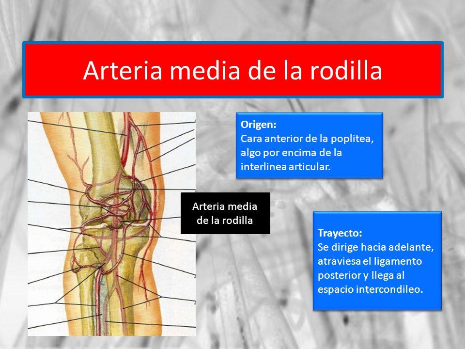 Arteria media de la rodilla Origen: Cara anterior de la poplitea, algo por encima de la interlinea articular. Origen: Cara anterior de la poplitea, al
