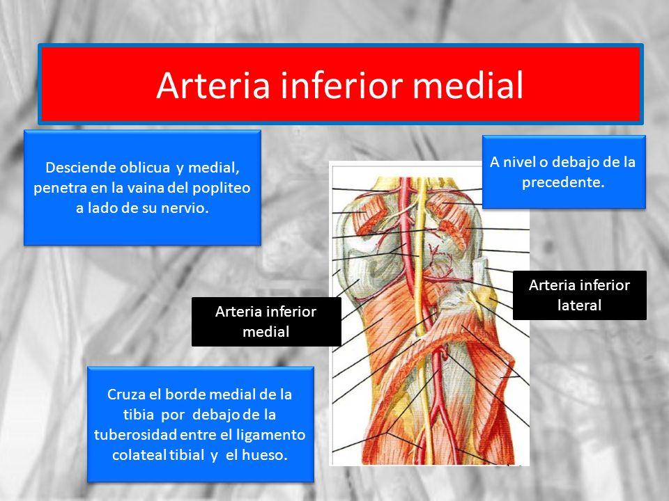 Arteria inferior medial Arteria inferior lateral Arteria inferior medial A nivel o debajo de la precedente. Desciende oblicua y medial, penetra en la