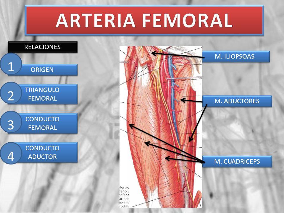 RELACIONES ARTERIA FEMORAL EN SU ORIGEN ANILLO FEMORAL LIGAMENTO INGUINAL ARCO ILIOPECTINEO M.