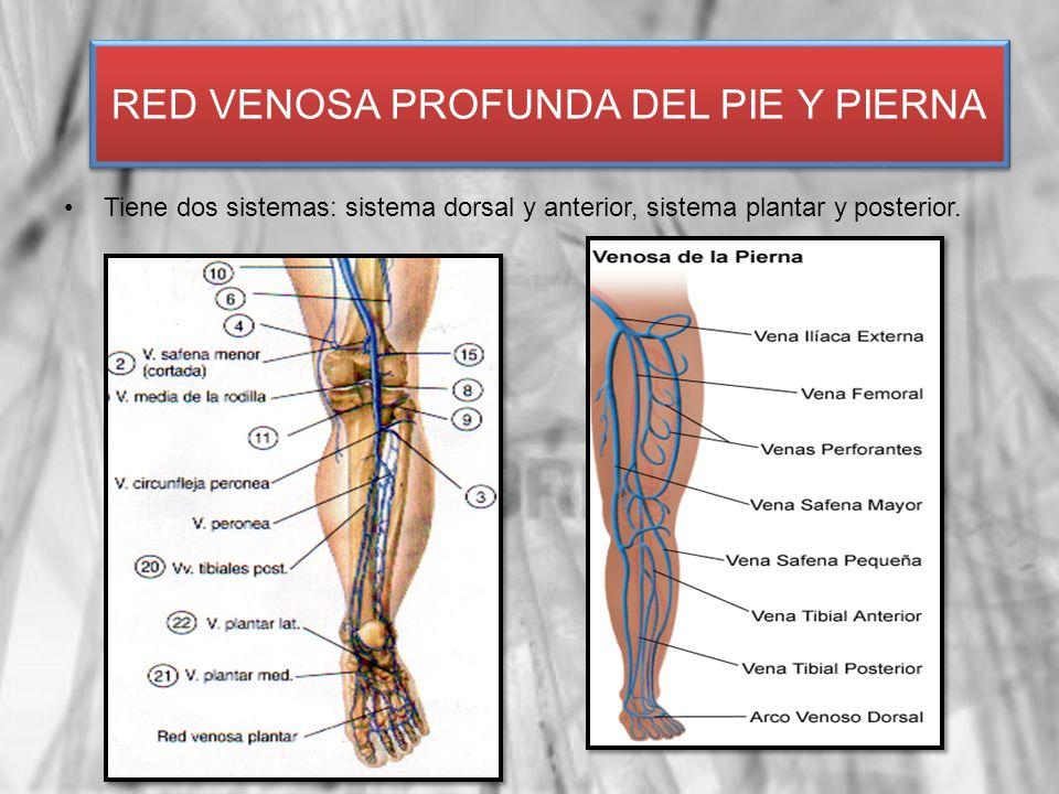 Tiene dos sistemas: sistema dorsal y anterior, sistema plantar y posterior. RED VENOSA PROFUNDA DEL PIE Y PIERNA