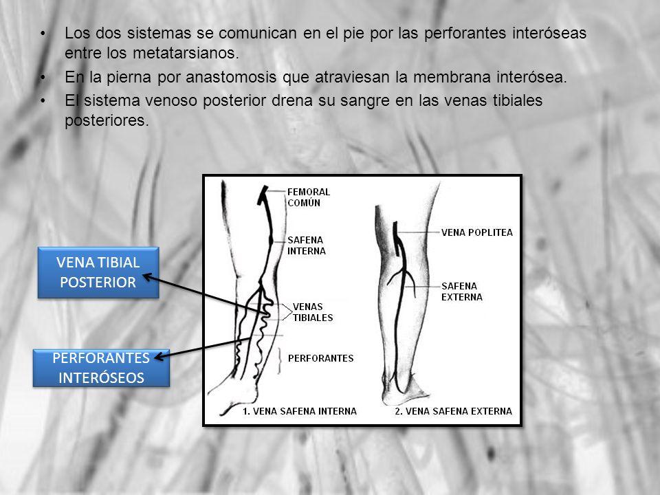 PERFORANTES INTERÓSEOS VENA TIBIAL POSTERIOR Los dos sistemas se comunican en el pie por las perforantes interóseas entre los metatarsianos. En la pie