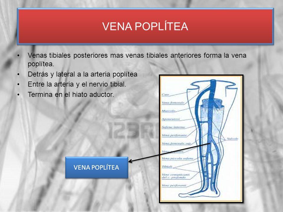 Venas tibiales posteriores mas venas tibiales anteriores forma la vena poplítea. Detrás y lateral a la arteria poplítea Entre la arteria y el nervio t
