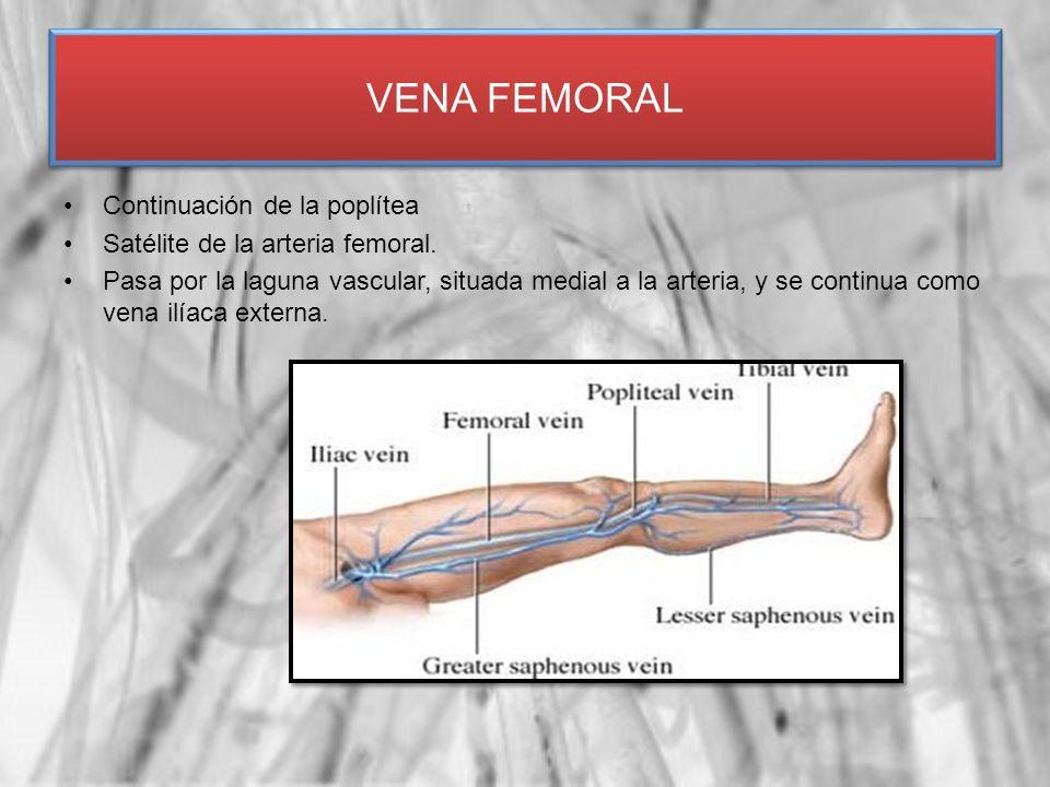 Continuación de la poplítea Satélite de la arteria femoral. Pasa por la laguna vascular, situada medial a la arteria, y se continua como vena ilíaca e