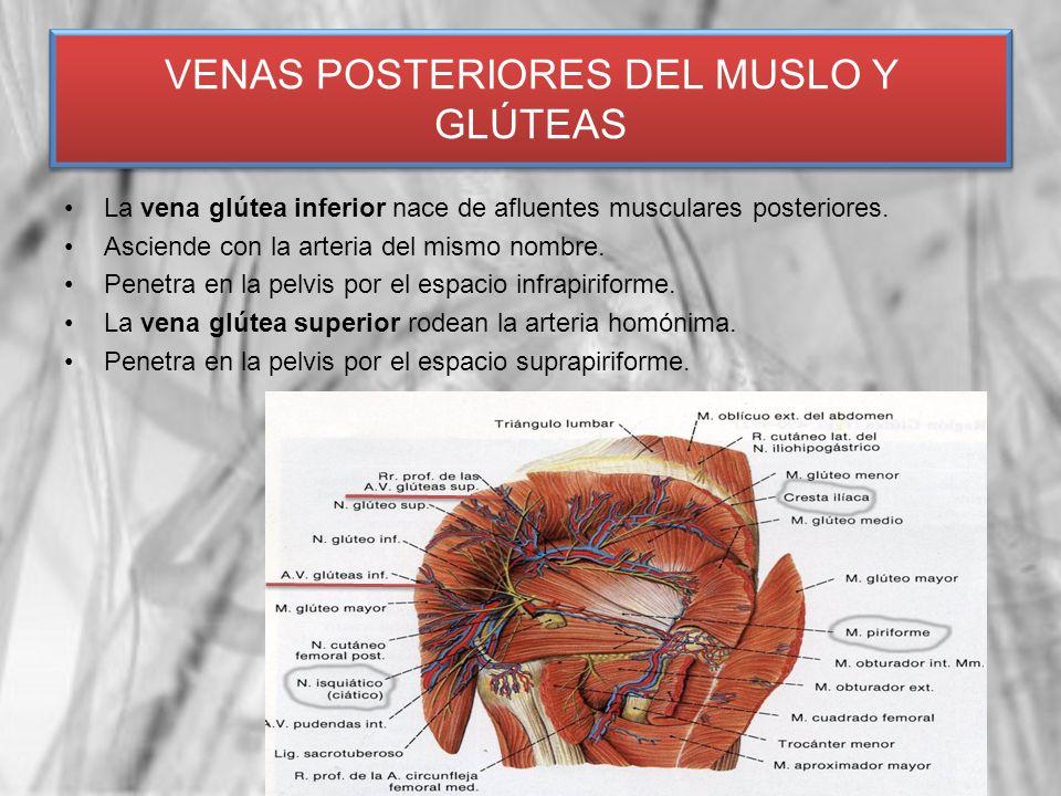 La vena glútea inferior nace de afluentes musculares posteriores. Asciende con la arteria del mismo nombre. Penetra en la pelvis por el espacio infrap