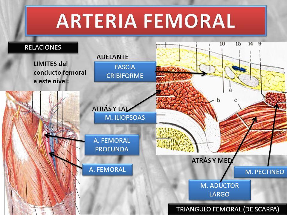 TRIANGULO FEMORAL (DE SCARPA) A. FEMORAL RELACIONES A. FEMORAL PROFUNDA LIMITES del conducto femoral a este nivel: FASCIA CRIBIFORME M. PECTINEO M. AD