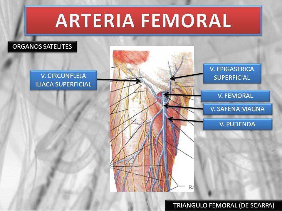TRIANGULO FEMORAL (DE SCARPA) ORGANOS SATELITES N.
