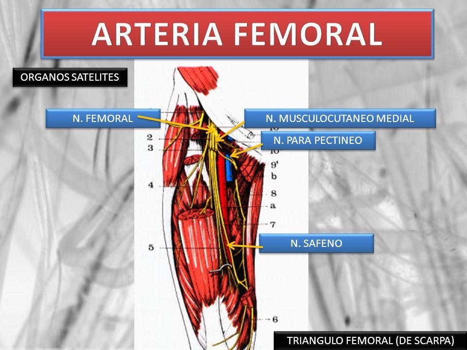 TRIANGULO FEMORAL (DE SCARPA) ORGANOS SATELITES N. PARA PECTINEO N. FEMORAL N. MUSCULOCUTANEO MEDIAL N. SAFENO