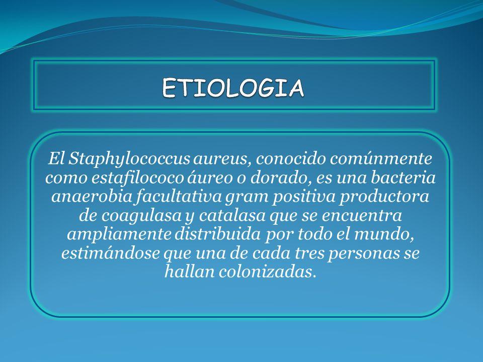 El Staphylococcus aureus, conocido comúnmente como estafilococo áureo o dorado, es una bacteria anaerobia facultativa gram positiva productora de coag