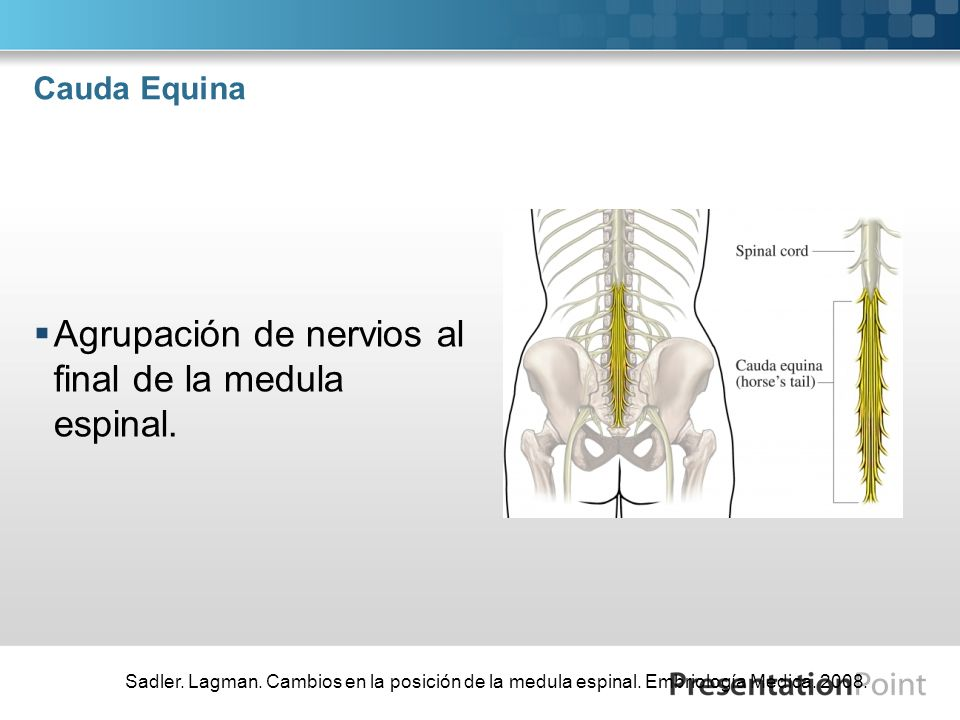 Cauda Equina Agrupación de nervios al final de la medula espinal. Sadler. Lagman. Cambios en la posición de la medula espinal. Embriología Medica. 200
