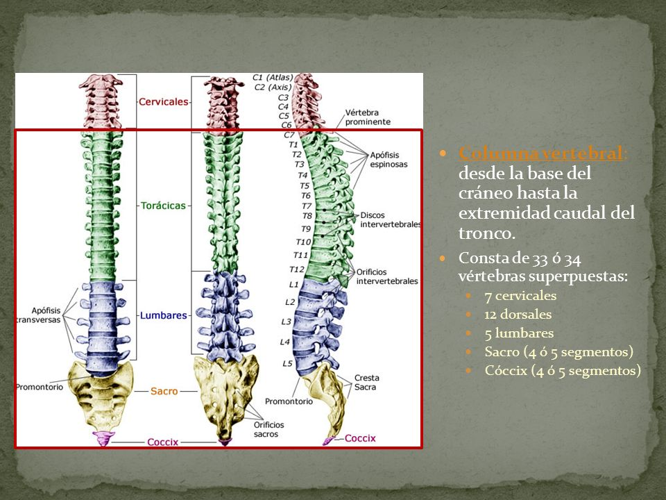 Columna vertebral: desde la base del cráneo hasta la extremidad caudal del tronco. Consta de 33 ó 34 vértebras superpuestas: 7 cervicales 12 dorsales