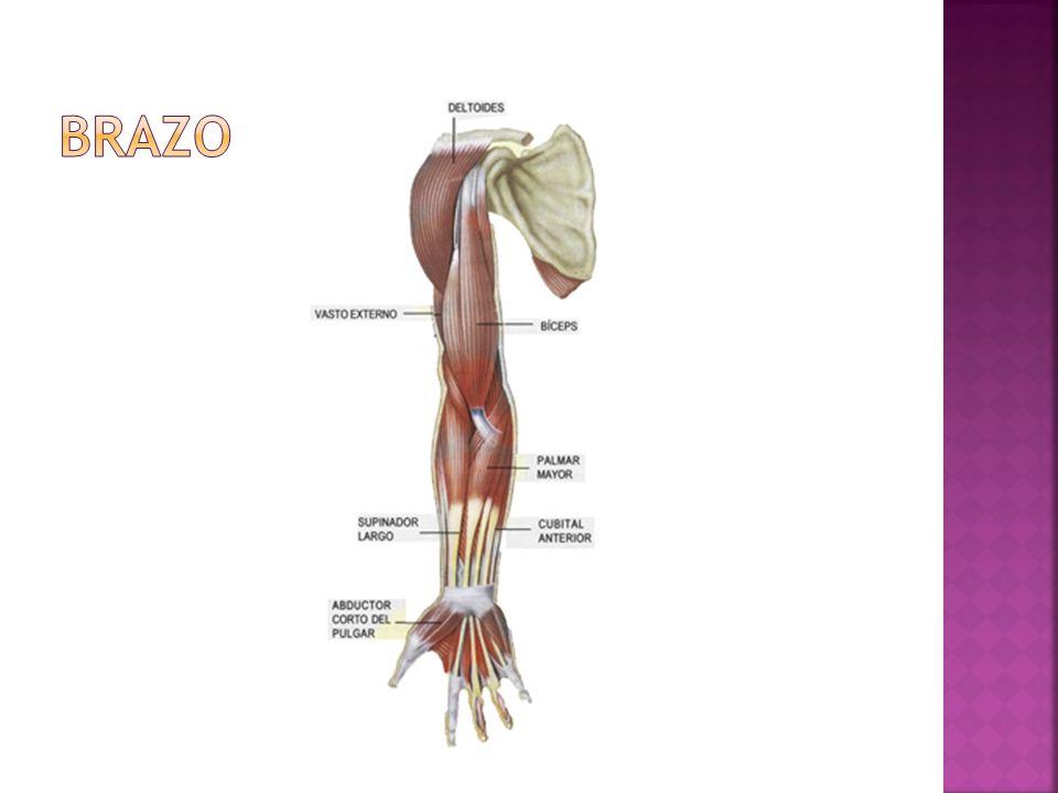 Ubicación: Situado en la cara anterior del brazo Características: Es de forma alargada, Función: Ayudar a la flexión del antebrazo spbre el brazo