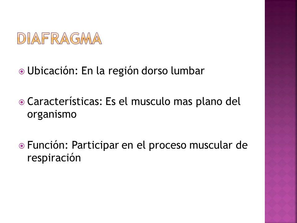 Ubicación: En la región dorso lumbar Características: Es el musculo mas plano del organismo Función: Participar en el proceso muscular de respiración