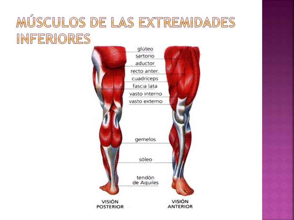 Ubicación: Se encuentra unido en la parte posterior de la pierna.