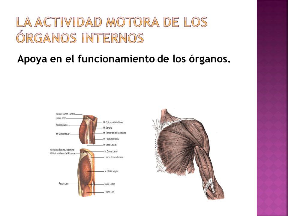 Apoya en el funcionamiento de los órganos.
