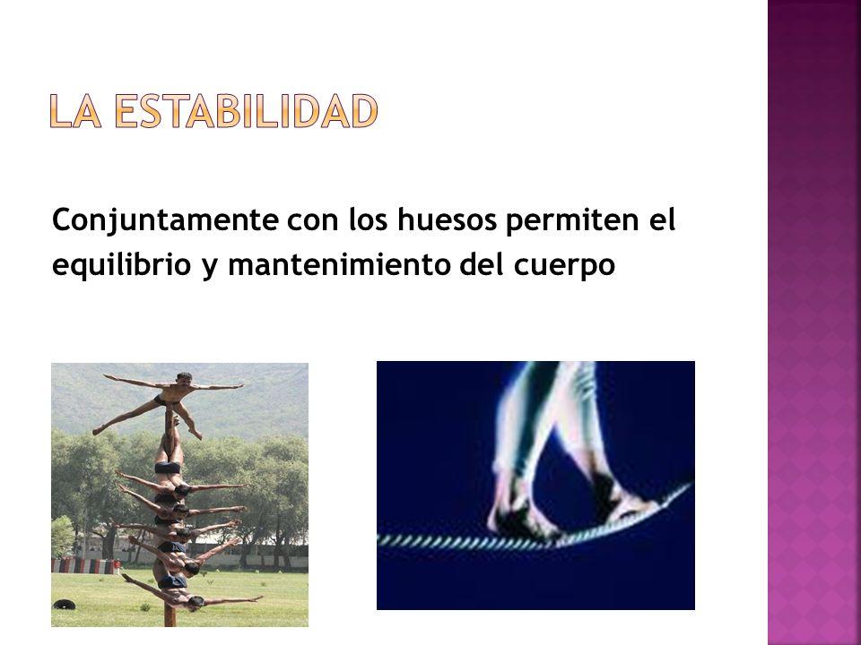 Permite el control de las posiciones que realiza el cuerpo en estado de reposo Los músculos con ayuda de los tendones dan el aspecto típico del cuerpo.