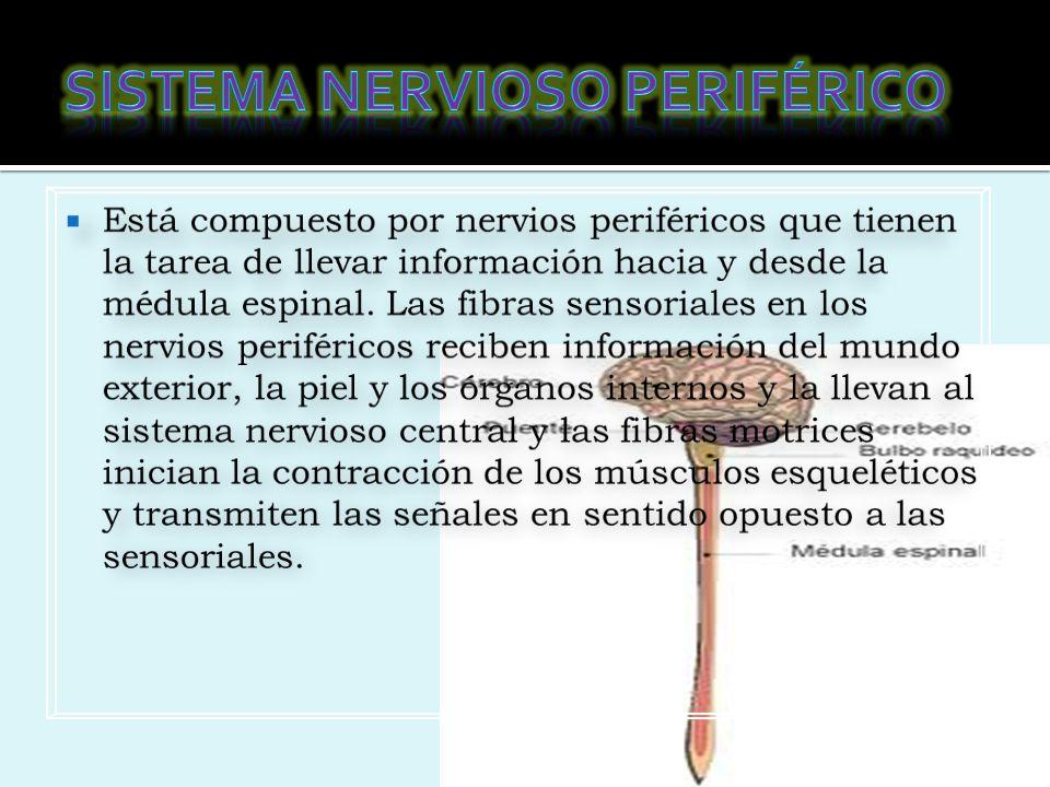 Sistema nervioso somático: Activa todas las funciones orgánicas Sistema nervioso somático Sistema nervioso autónomo o vegetativo: Protege y modera el gasto de energía.