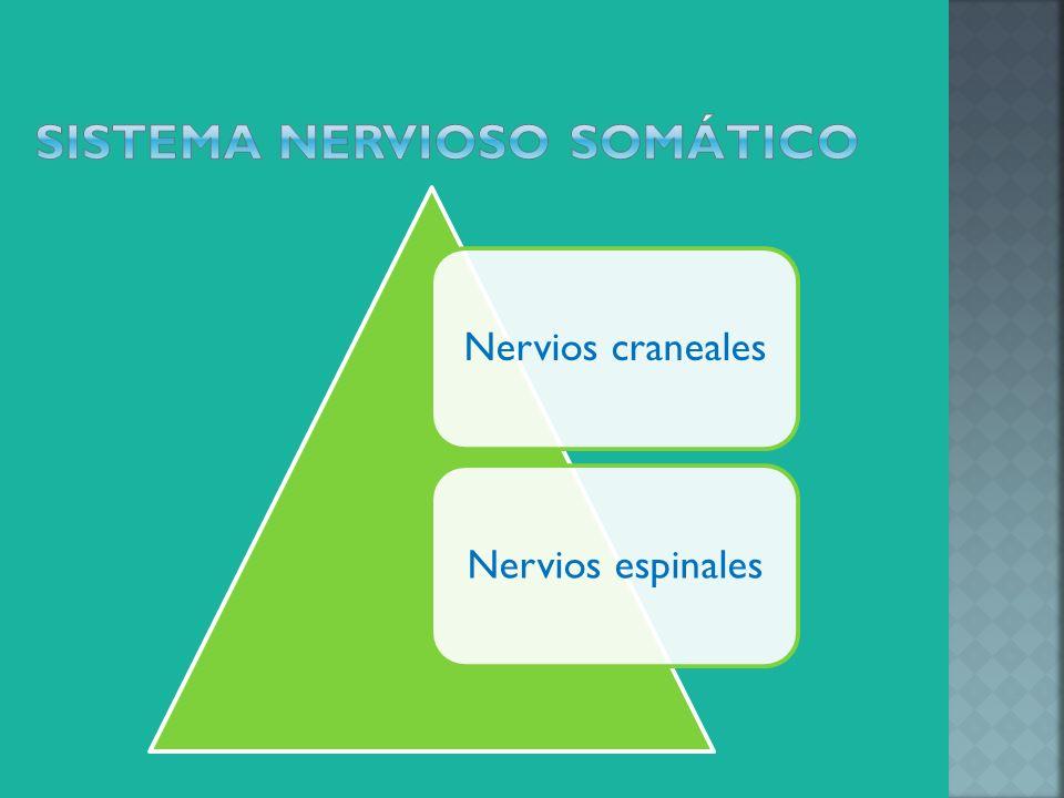 Los 12 pares de nervios craneales se extienden desde la parte baja del cerebro, excepto el nervio vago, los nervios craneales controlan músculos de la cabeza y la región del cuello o llevan impulsos nerviosos de los órganos sensores como los ojos, al cerebro.