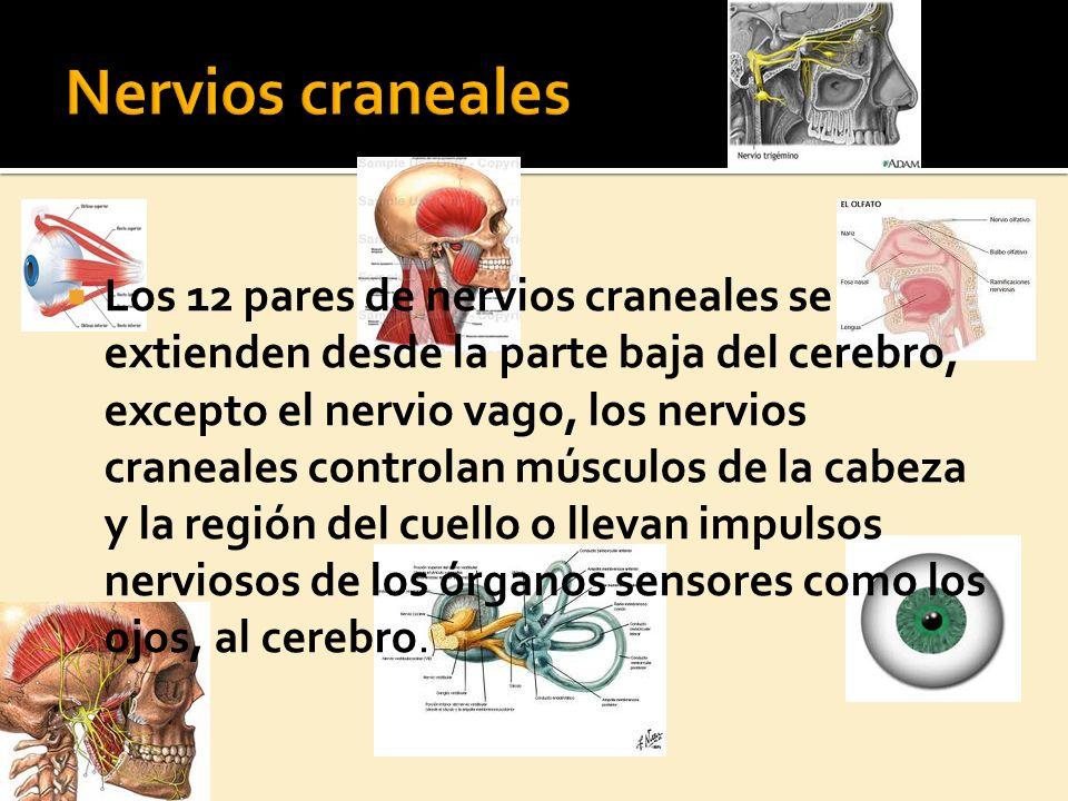N ERVIOS ESPINALES Hay 31 pares de nervios espinales, que emergen de la médula espinal y se extienden por espacios entre las vértebras.