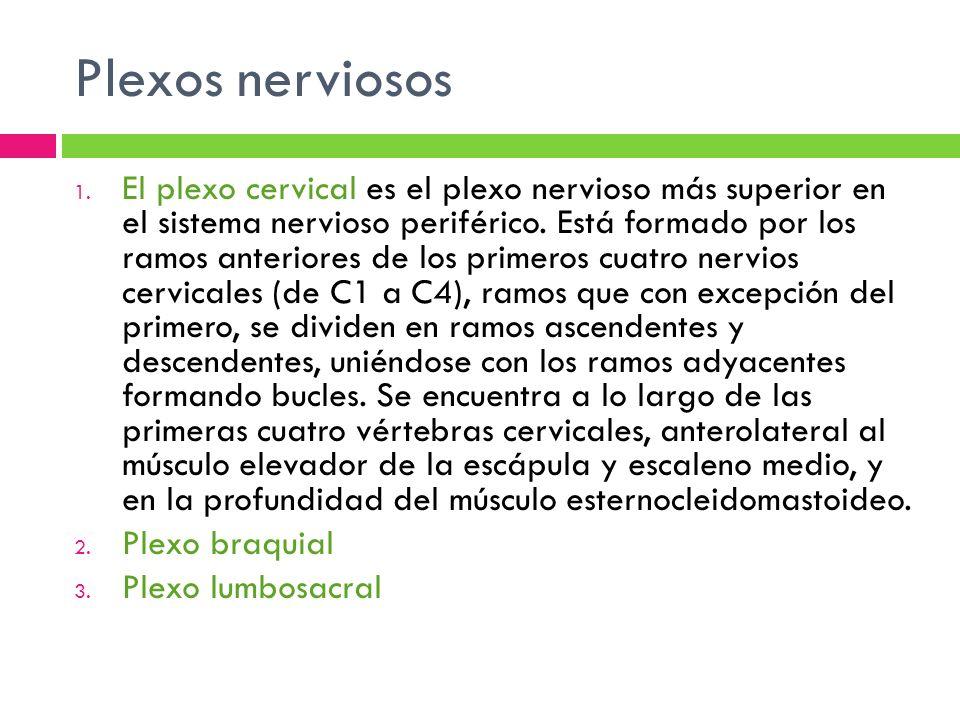 El plexo cervical esta formado por los ramos ventrales de los cuatro primeros nervios cervicales (C1-C4) con contribuciones de C5.