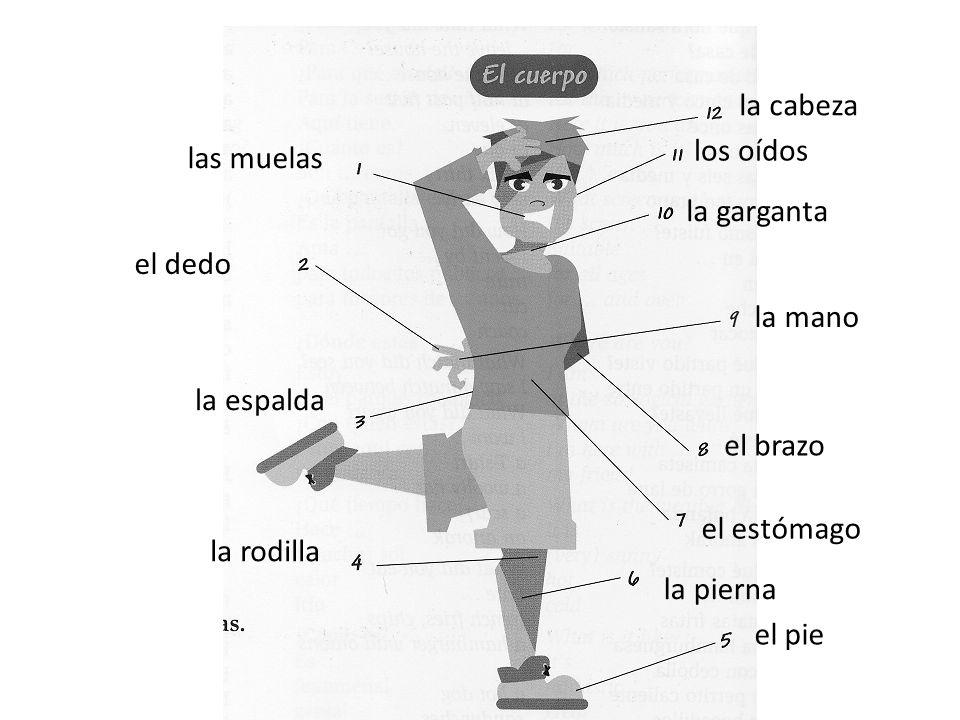 las muelas el dedo la espalda la rodilla el pie la pierna el estómago el brazo la mano la garganta los oídos la cabeza