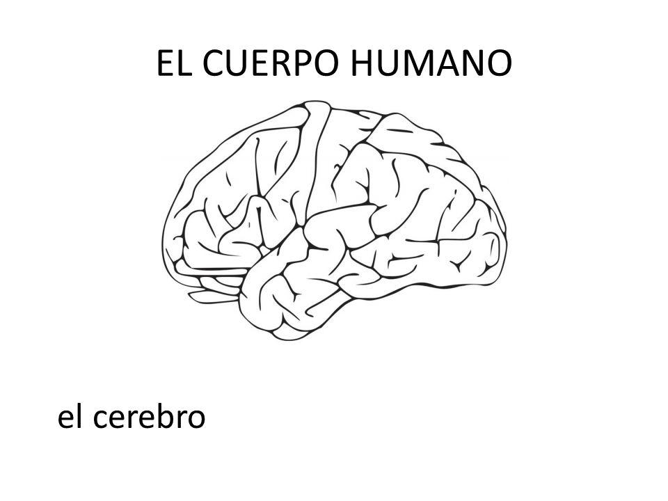 EL CUERPO HUMANO el cerebro