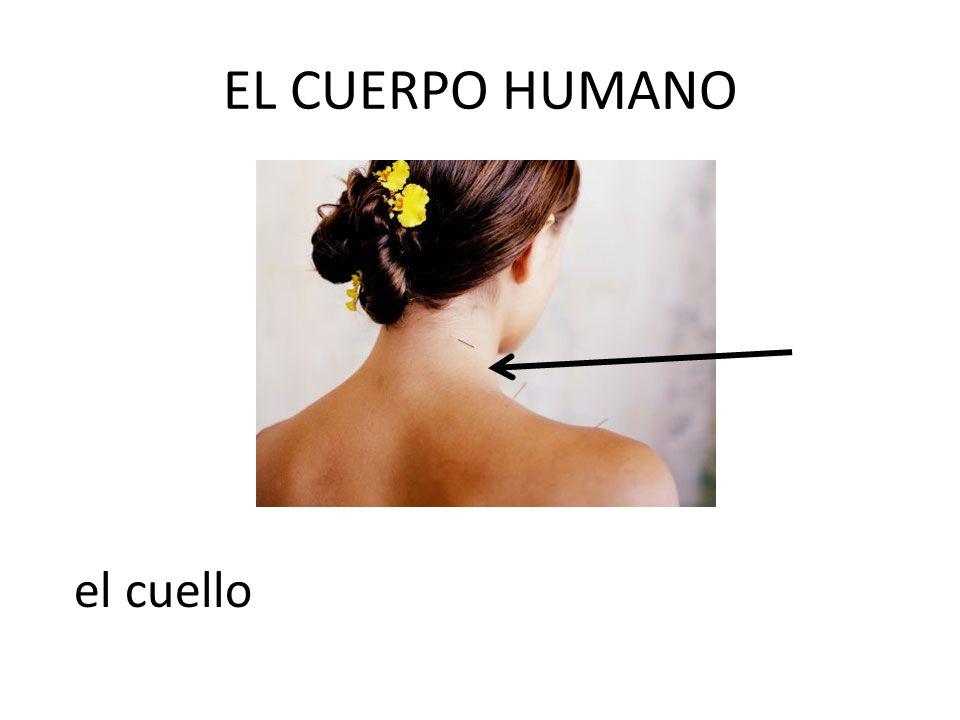 EL CUERPO HUMANO el cuello