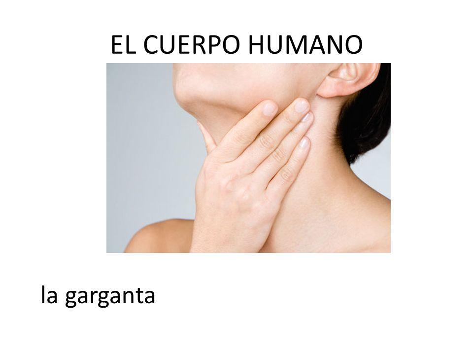 EL CUERPO HUMANO la garganta