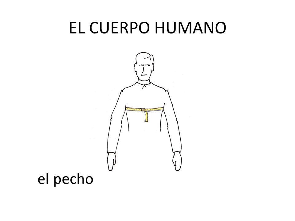 EL CUERPO HUMANO el pecho