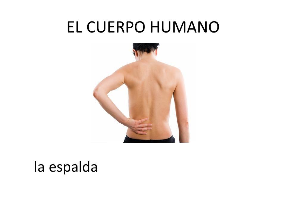 EL CUERPO HUMANO la espalda