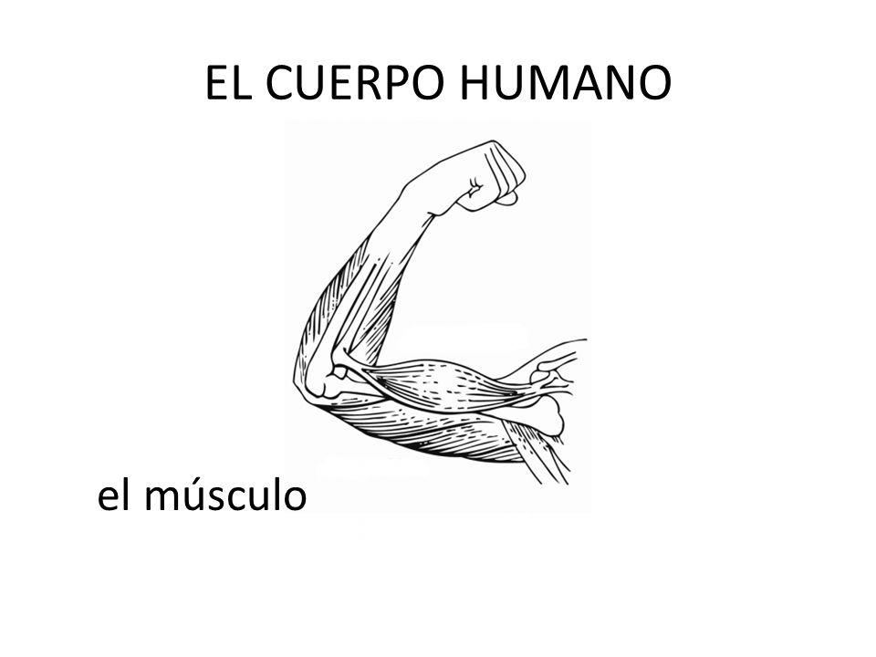 EL CUERPO HUMANO el músculo