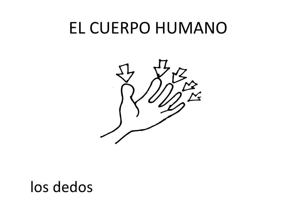 EL CUERPO HUMANO los dedos
