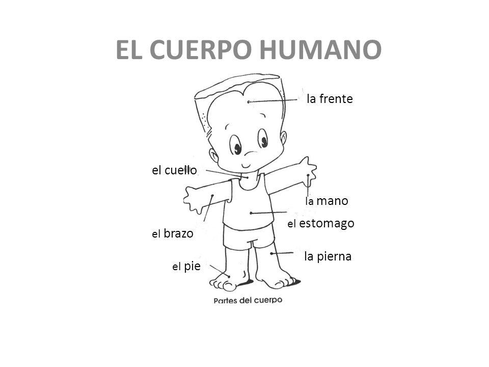 EL CUERPO HUMANO la frente el cuello el estomago la mano el brazo el pie la pierna