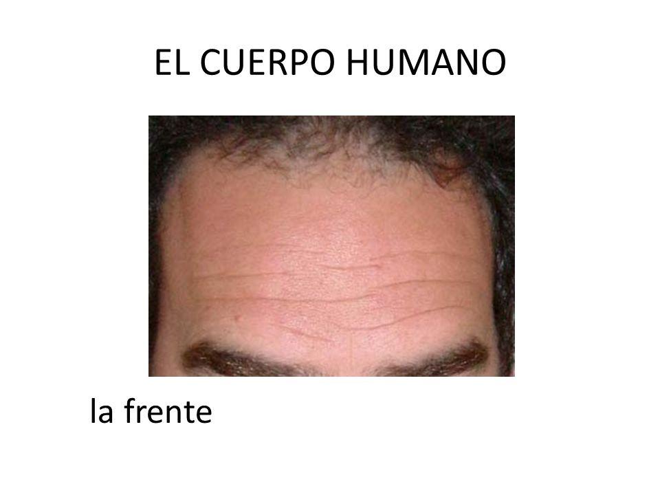 EL CUERPO HUMANO la frente