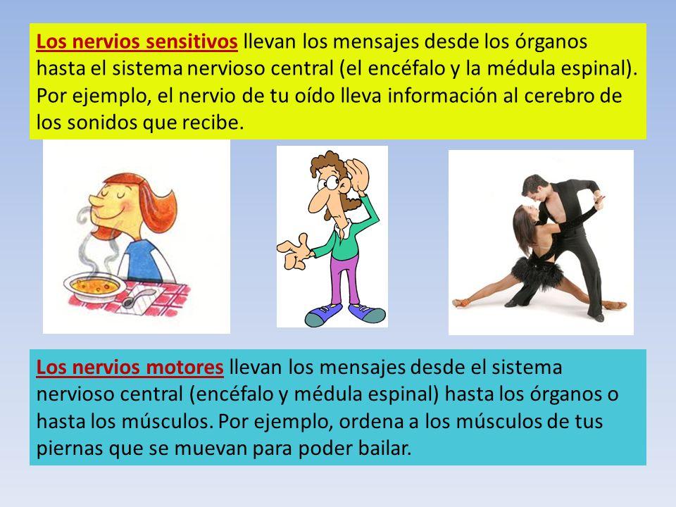 Los nervios sensitivos llevan los mensajes desde los órganos hasta el sistema nervioso central (el encéfalo y la médula espinal). Por ejemplo, el nerv