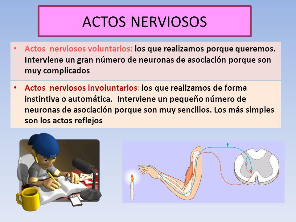 ACTOS NERVIOSOS Actos nerviosos voluntarios: los que realizamos porque queremos. Interviene un gran número de neuronas de asociación porque son muy co