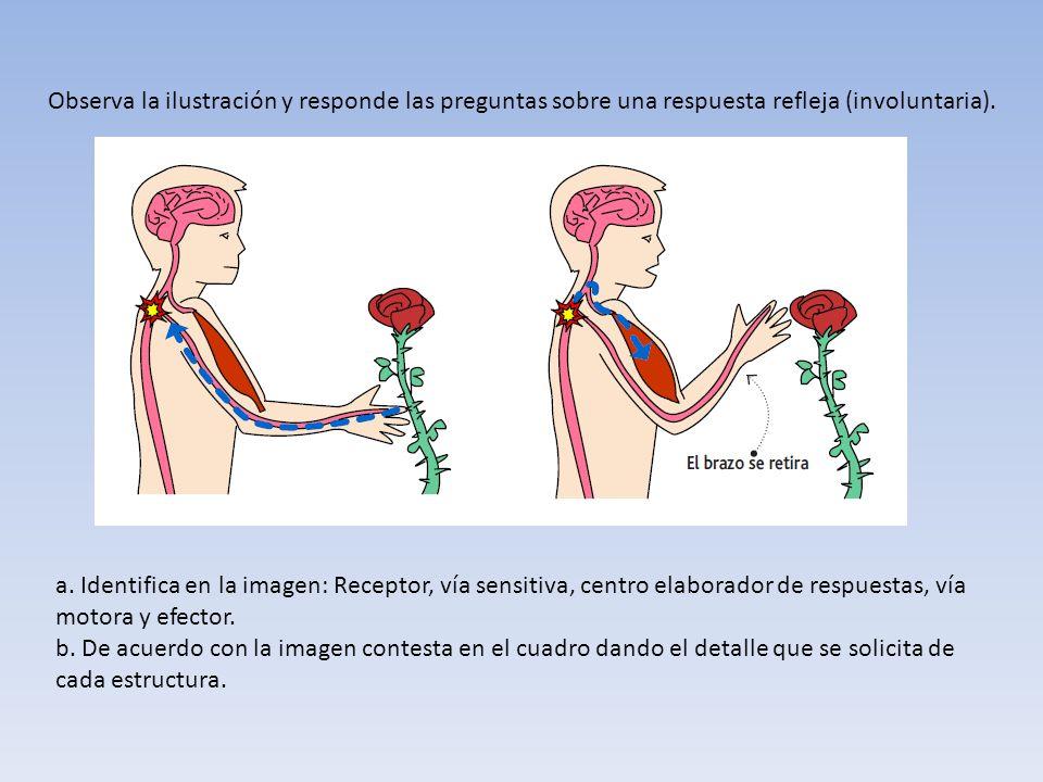 Observa la ilustración y responde las preguntas sobre una respuesta refleja (involuntaria). a. Identifica en la imagen: Receptor, vía sensitiva, centr