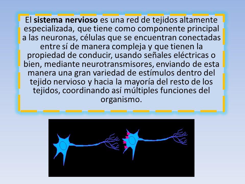 El sistema nervioso es una red de tejidos altamente especializada, que tiene como componente principal a las neuronas, células que se encuentran conec