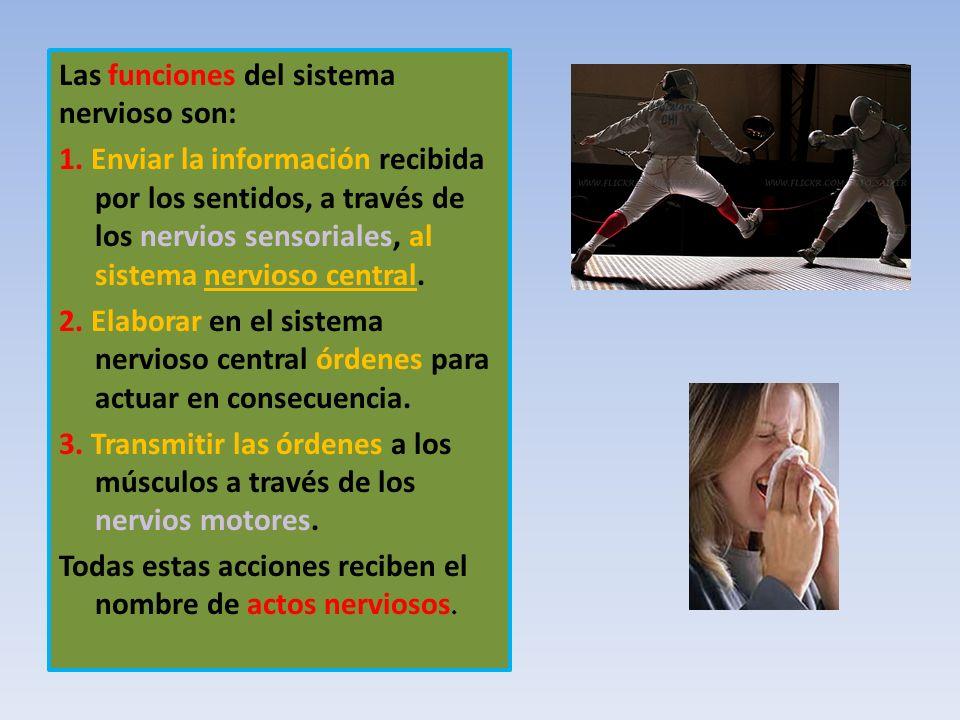 Las funciones del sistema nervioso son: 1. Enviar la información recibida por los sentidos, a través de los nervios sensoriales, al sistema nervioso c