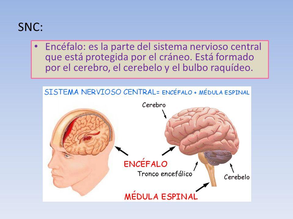 SNC: Encéfalo: es la parte del sistema nervioso central que está protegida por el cráneo. Está formado por el cerebro, el cerebelo y el bulbo raquídeo