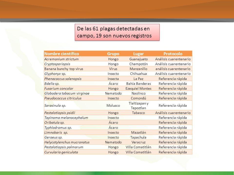 De las 61 plagas detectadas en campo, 19 son nuevos registros Nombre científicoGrupoLugarProtocolo Acremonium strictumHongoGuanajuatoAnálisis cuarente